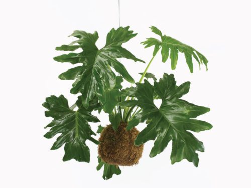 Opus Hanging Plants