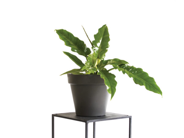Tiger Tooth Plant