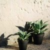 Opus Potted Agave